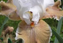 GarFloPerRhi- Iris !!! / Flower Perennial Rhizome  / by Jerry Dickinson Heritage House