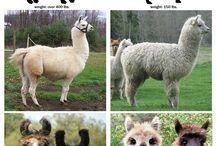 Alpaca's & Llama's / by Tracy LaBlanc