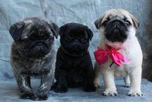 PUGS / the most beautiful dogs EVER! / by Carolina Mollinedo Puleo