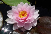 Lotus & Water lily / by Kaoru N