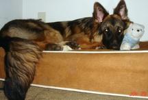 Belgian Sheepdog  / Belgian Sheepdogs enjoying their Kuranda beds! / by Kuranda Dog Beds