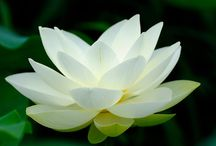Lovely Lotus / Namaste / by Fresh Faced Skin Care