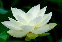 Lovely Lotus / Namaste / by Fresh Faced Skin Care