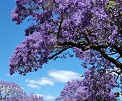 In Love with Jacaranda  / I love Jacaranda blossom - so much I named my heroine Jacaranda in my first romance novel, 'Black Diamonds'.  Enjoy a perfectly purple moment ...  Eliza Redgold www.elizaredgold.com / by Eliza Redgold