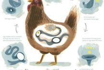 Chicks / Chickens, Eggs, Hobby Farm / by <A M E L I A>