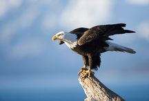 Eagles / Stuff about eagles to show the kids / by Barbie Gallini