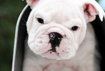 bulldogs / by Rhonda Power