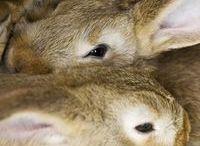 Barnyard / Rabbits, Chickens, Goats / by Kimberly