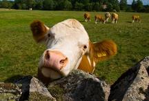 Cow / by Monika Mrozkova