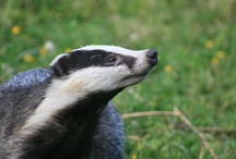 Badgers / by Claire Thornley
