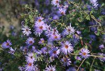 long-blooming perennials / by Nebraska Statewide Arboretum