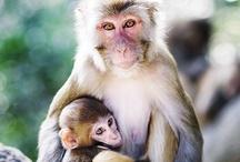 Dani's apes/gorillas/monkeys / by A Fernandez