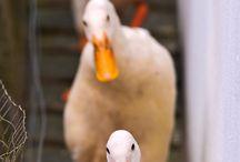 Ducks R Us / by Michelle Hartz