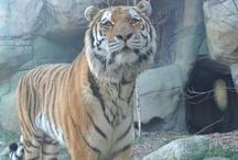 Tigers / by R Meier