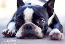 The Pup Life / Boston terriers and friends  / by Jennifer Torres