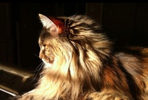 Maine Coon / by A LittleBirdieToldMe