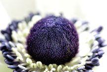 Flowers - Anemone / Anemone / by Harriet Vorselaars