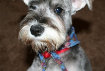 """Minature Schnauzer / This board is in remembrance of our """"Muffin"""". / by Suzanne Jolly"""