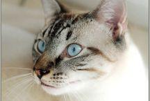 Lynx point cats / by adrianna arrington