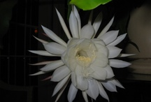 Beauty in nature / Flower of the night / by Lena Kroupnik Interiors