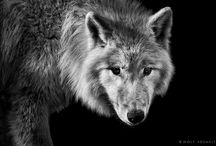 My Friend the Wolf / by Kelly Sexton
