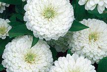 White Flowers / by Backyard Gardener