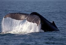 Whale watching on Cape Cod / We love to recommend our guests head to P'Town for their whale watching adventure. / by Captain Freeman Inn