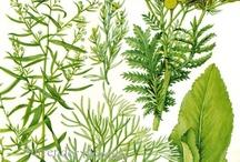 Herbs & Plants / by HollyBeth Organics