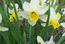 Spring flowering bulbs-favorites / by karen colleran