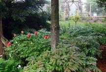 Peonies in Garden / by Pamela Ridgell