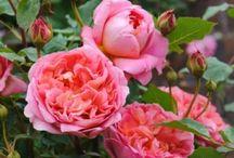 roses / by Rosemary Srebalus