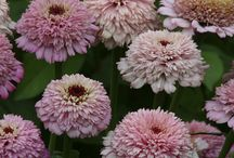 New for 2015 / New seed varieties for the 2015 season. Follow this board to see the dozens of new varieties that we'll be adding over the next few months. / by Swallowtail Garden Seeds