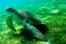 Oceani da salvare / I nostri mari sono in crisi, il 60% delle risorse ittiche studiate a livello europeo è sovrasfruttato. Nel Mediterraneo la situazione è ancora più allarmante: l'88% degli stock di cui è stata effettuata una valutazione soffre di pesca eccessiva. Per salvarli, è necessario intervenire subito. Sì alla pesca sostenibile per il futuro degli oceani.  / by Greenpeace Italia