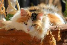 Beautiful Cats, Josephine My Calico Cat's Board / Board is My tribute to Calico Cats in Honour to My Calico Cat Josephine! / by sherlocked221B