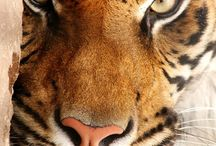 Tigers / by Melisa Medina