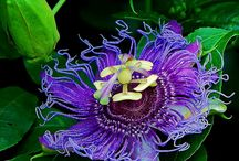 Plants and flowers / Passion flower / by Donna Thompson