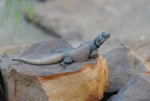 Lizards! / by Tulsa Zoo
