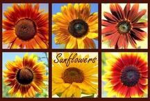 Sunflowers / by Patty Gerker