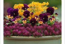 Country Farmhouse Garden - Pansy, Violas / by Marcia Hron