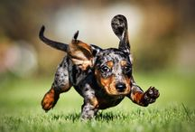 DACHSHUNDS. Nuff Said. / by Samantha Schilthuis