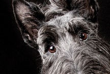 Scottie / by Penny Collins