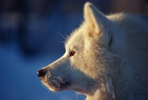 Wintertours to Finland/Lapland / Lapland, the home of Santa Claus! See our exciting winter tours to Northern Finland! Bring the family and enjoy Husky safaris, Snowmobile safaris, Reindeer sleds, snow shoeing, Igloos and Snow castles! / by Five Stars of Scandinavia, Inc.