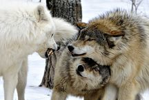 Wolves ~  / by Michelle Kibler