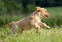 """Golden Retrievers ♥  / A celebration of """"America's Dog!""""  / by PetCareRx"""