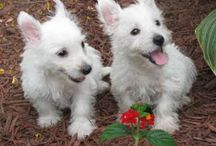 Westie Wednesdays Doggies / by PrestonSpeaks.com A Blog From a Dog's Point of View