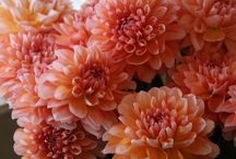 floral board: dahlias  / by The Perfect Petal