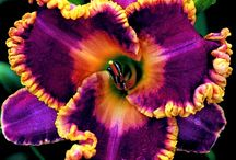 Daylilies / by Falk Hedemann