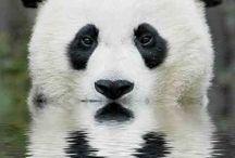 pandas / by Sydney Vegezzi