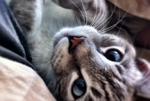 Fluff felines / cats kittens felines FLUFFS / by Jennifer Simmons