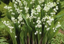 ✿⊱╮Lily of the Valley / by Carol Hardin